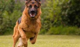 Come addestrare un cane alla difesa e alla guardia