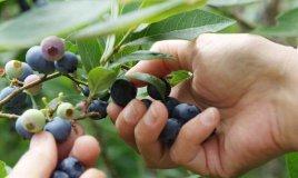 mirtillo coltivazione cura e potatura