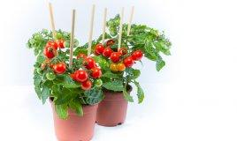 coltivare pomodori ciliegini in vaso, orto balcone, pomodori ciliegini coltivazione