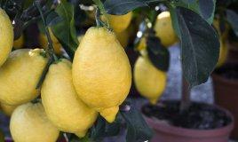 coltivare limoni balcone, coltivare limoni vaso