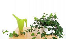 coltivare edera vaso, coltivare edera