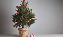 albero di natale naturale, curare pino vaso, coltivare pino vaso