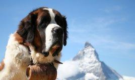 cani da soccorso, cani soccorso alpino