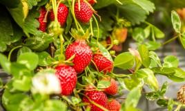 coltivare fragole, coltivare fragole orto