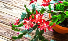 fiori natalizi da regalare, piante natalizie, fiori da regalare a natale