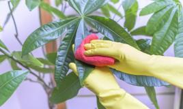 come pulire foglie piante appartamento, pulire foglie piante