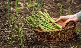 coltivare asparagi, coltivazione asparagi