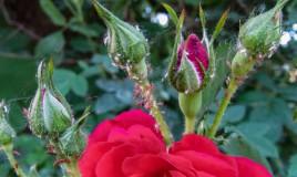 come togliere pidocchi rose, come togliere afidi rose, afidi rose, pidocchi rose