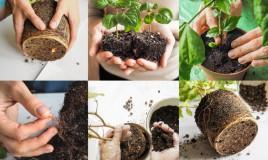 come rinvasare piante, rinvaso pianta