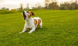 come educare cane a non abbaiare