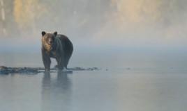 sognare, orso, interpretazione