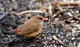 bengalini uccelli