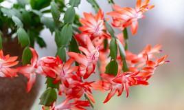 cactus natale come farlo rifiorire, schlumbergera come far rifiorire, cactus natale fiorire
