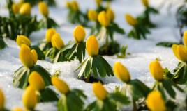 coltivare eranthis, coltivare aconito, coltivare anemone invernale