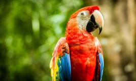 razze, pappagalli, origini