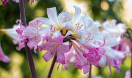come coltivare amaryllis, coltivare amaryllis belladonna, coltivare amarillide