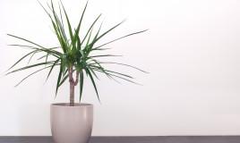 come coltivare dracena, coltivazione dracena