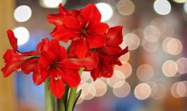 quali fiori coltivare natale, fiori natale