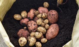 come coltivare patate sacco, come coltivare patate, coltivazione patate sacco