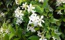 gelsomino erboristeria arbusto rampicante fiori calmante antidepressivo dolori mestruali rimedio alleato donne tonificante viso