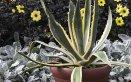 agavi-piante-coltivazione