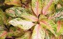 Aglaonema-piante-specie