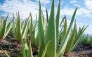 Aloe vera proprietà salute bellezza