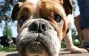 Bulldog cani affezione