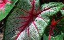 Caladio-piante-coltivazione