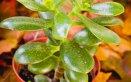 Crassula-piante