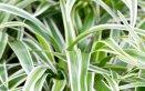 falangio-verde-pianta