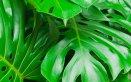 Filodendro-pianta