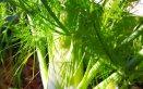 finocchio-pianta-coltivazione