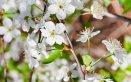 primavera-ciliegio-fiori