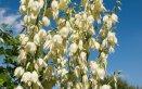 yucca-pianta