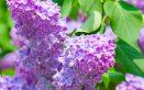 arbusto-pianta-lillà