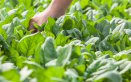 spinaci-coltivazione