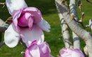 magnolia fiori capelli femminilità