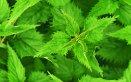 ortica acne proprietà erba