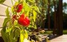peperoncini-giardino-pianta