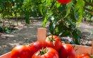 pomodoro proprietà varietà benefici