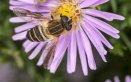 sognare un'ape significato