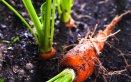 come coltivare le carote in casa