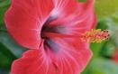 Ibisco, i consigli per coltivare la pianta in casa