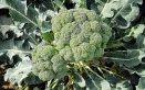coltivare broccoli, seminare broccoli, ricette broccoli