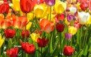 fiori balcone primavera, piantare bulbi tulipano, conservare bulbi tulipano
