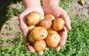 coltivare patate orto