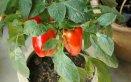 coltivare peperoni vaso