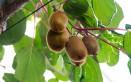 coltivare kiwi