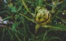 Come coltivare i carciofi in vaso sul balcone